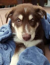 australian shepherd mixed with husky odin the husky aussie mix puppies daily puppy