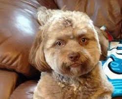 shi poo wbtv news a 1 year old shih poo named yogi looks eerily facebook
