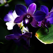 purple orchid flower purple orchid flower to go in center pieces with blue orchids
