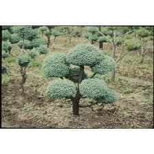 shop 3 25 gallon boulevard false cypress pom feature tree l11370
