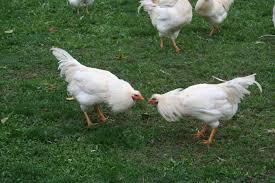 animali da cortile definizione l allevamento brado 礙 possibile non c 礙 l allevamento