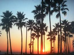 best 25 california palm trees ideas on los angeles