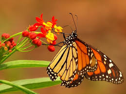 butterfly animal flower free download butterfly hd 16 9 high