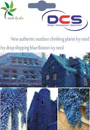 dcs 064 new authentic outdoor climbing plants ivy seed drop