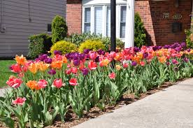 spring landscaping daffodils archives emil yedowitz landscaping and irrigation solutions