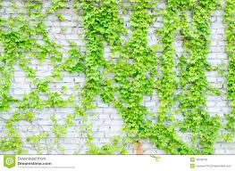 vines and walls stock photo image 39546703