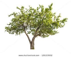 popular free green apple tree with small fruits isolated on white