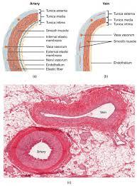 Anatomy Slides Vein And Artery Slide Google Search Bio Stuff Slides Pinterest