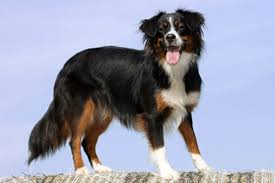 australian shepherd kid friendly australian shepherd temperament names rescue adoption