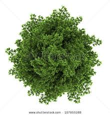 top view silver maple tree isolated stock illustration 107955188