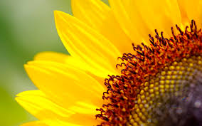 sunflower wallpapers beautiful sunflowers wallpapers hd desktop wallpapers 4k hd