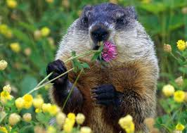 picture groundhog on animal picture society