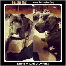 american pitbull terrier webbed feet north carolina pit bull rescue u2015 adoptions u2015 rescueme org