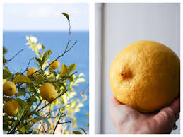 When Does A Lemon Tree Produce Fruit - limoncello recipe and how to be true to your lemon tree