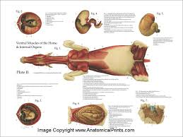 Internal Dog Anatomy Horse Equine Muscles And Viscera Anatomy Poster 18 X 24