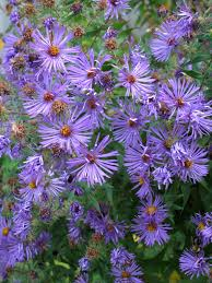 native plant landscaping in new england perennial shade gardens 8 great native cottage garden perennials part i amy ziffer