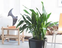 25 Easy Houseplants Easy To by 10 Best Indoor Plants For Men Gear Patrol