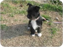 affenpinscher dogs for sale maya baby adopted puppy mcdonough ga affenpinscher yorkie