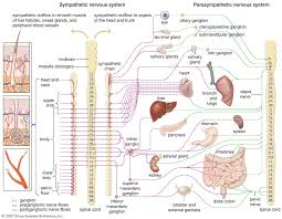 What Is A Reflex Action Example Reflex Physiology Britannica Com
