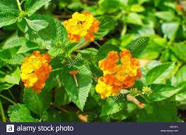 Verbena Flower Lanthanum Flowers Sort Of Family Verbena Tropical Plants Tropics