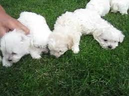 bichon frise breeders in pa bichon frise puppies for sale in pennsylvania youtube