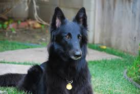 belgian sheepdog short hair belgian shepherd groenendael dog puppy dog gallery