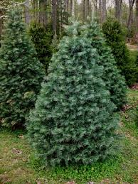 delaware christmas tree growers association firs spruces and pines