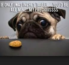 Funny Pug Memes - 8 funny pug memes what every jump pinterest dog
