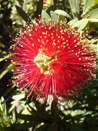 australian native plants perth common red bottlebrush callistemon citrina australian native