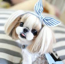 shih pooh haircut 17 oldest dog breed in the world exotic inside shih tzu