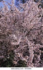 Flowering Cherry Shrub - flowering cherry tree prunus incisa stock photos u0026 flowering