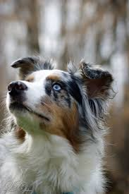 south dakota australian shepherd rescue so smart my aussie u0027s juna u0026 lou rey pinterest aussies