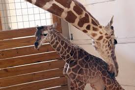 everybody wants to catch a glimpse of april the giraffe u0027s baby