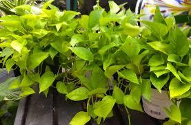 Low Light Indoor Trees Gardening In Winter Indoor Houseplants U2013 Carycitizen