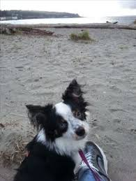 australian shepherd 9 monate i am wes little tri male rylee and wes toy aussies pinterest