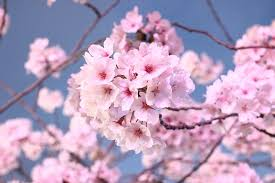 japanese cherry blossom images pixabay free pictures