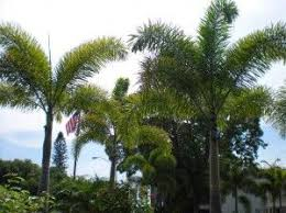 67 best palm trees images on tropical landscaping