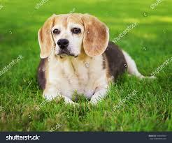 cute senior beagle looking off distance stock photo 306678404