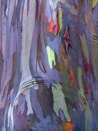 Rainbow Eucalyptus Best 25 Rainbow Eucalyptus Tree Ideas On Pinterest Eucalyptus