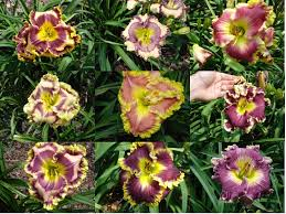 day lillies 100 daylily plants for only 1 99 each