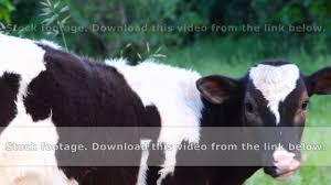 black and white cow youtube