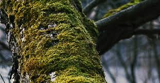 free stock photo of branch moss tree