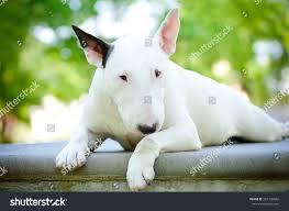 white bull terrier resting on concrete stock photo 107130842