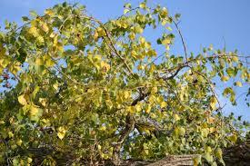 Cottonwood Tree Flowers - cottonwood tree eden hills