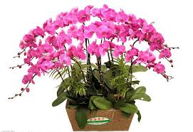 orchid plants for sale 2018 phalaenopsis seeds butterfly orchid seeds phalaenopsis orchid