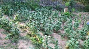Head Planter Pots For Sale Legal Pot In The U S May Be Undercutting Mexican Marijuana