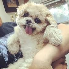 bichon frise instagram best 25 instagram dog ideas on pinterest cute baby dogs pupper