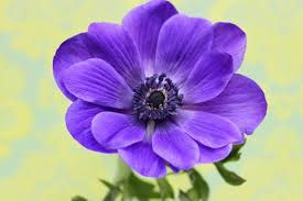 anemones flowers anemone a cheerful flower to brighten up your day flowerona