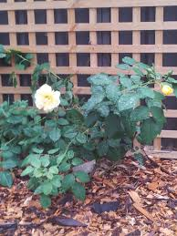 the yellow climbing rose it grew so fast after planting my