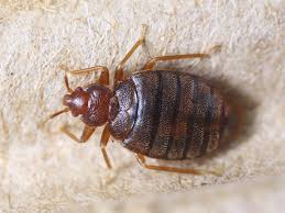 Pictures Of Tiny Red Bugs by Bed Bug Pictures Zappbug